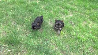 Priceless Yorkie Puppy Outdoor Puppy Play