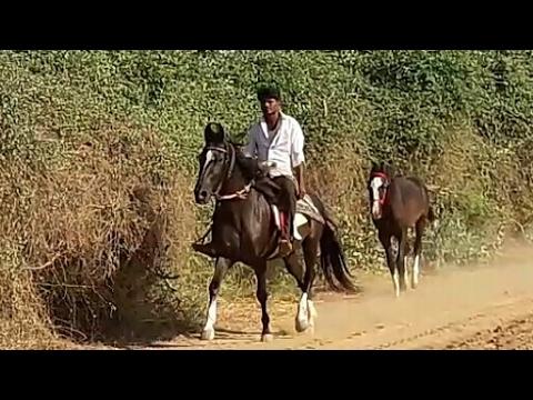 Marwadi  Horse