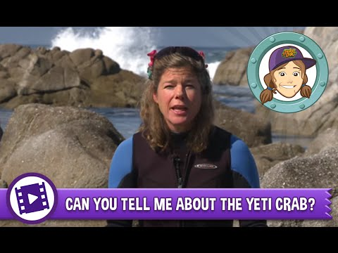 Can you tell me about the yeti crab?