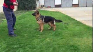 India - German Shepherd Dog for sale