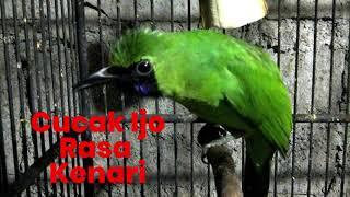 Download lagu Masteran BRUTAL Cucak Ijo Rasa Isian Kenari MP3
