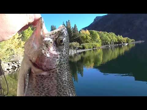 4 LB. Trout First Cast. Eastern Sierras Catch & Cook Fishing, Silver Lake In October
