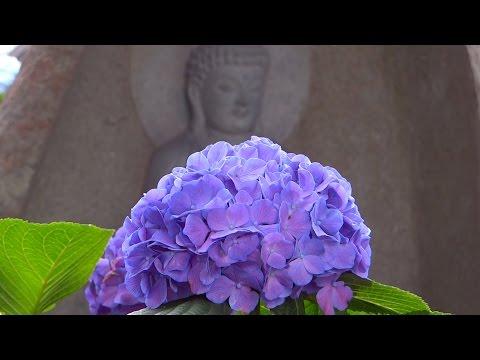 1300本の紫陽花の寺 保安寺 〜2015年〜