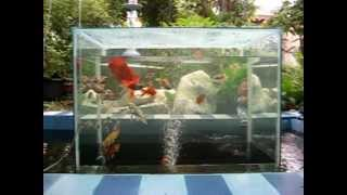 My  Open Bottom Fish Tank.mpg