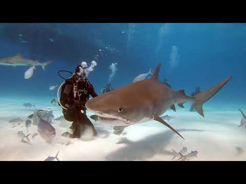 Bahamas - Tiger Beach - 2019