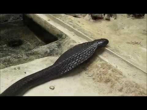 .Giftschlange-