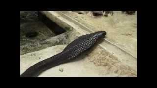 .Giftschlange-'schwarze Marokko Kobra'-Live Video von Wolfgang Schmökel