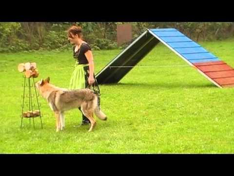 Dog Sport Tournament Obedience with Czechoslovakian Wolfdog