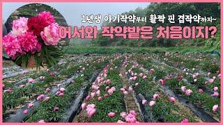 한약재로 쓰는 꽃이 이렇게 예쁠수가? 작약밭 구경오세요…