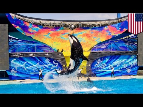 SeaWorld announces the end of its orca whale captive breeding program, Blackfish wins - TomoNews