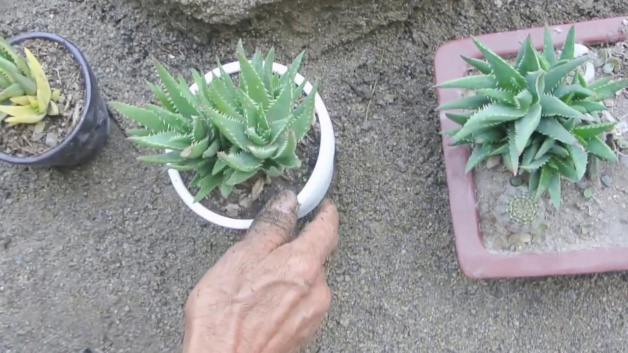 Senecio rowleyanus reproduccion asexual de las plantas