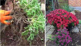 Фото Когда и как размножить дубочки  или корейские хризантемы .  Не пропустите сроки рассадки