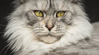 50 portraits of Maine Coon cats   Best of 2020