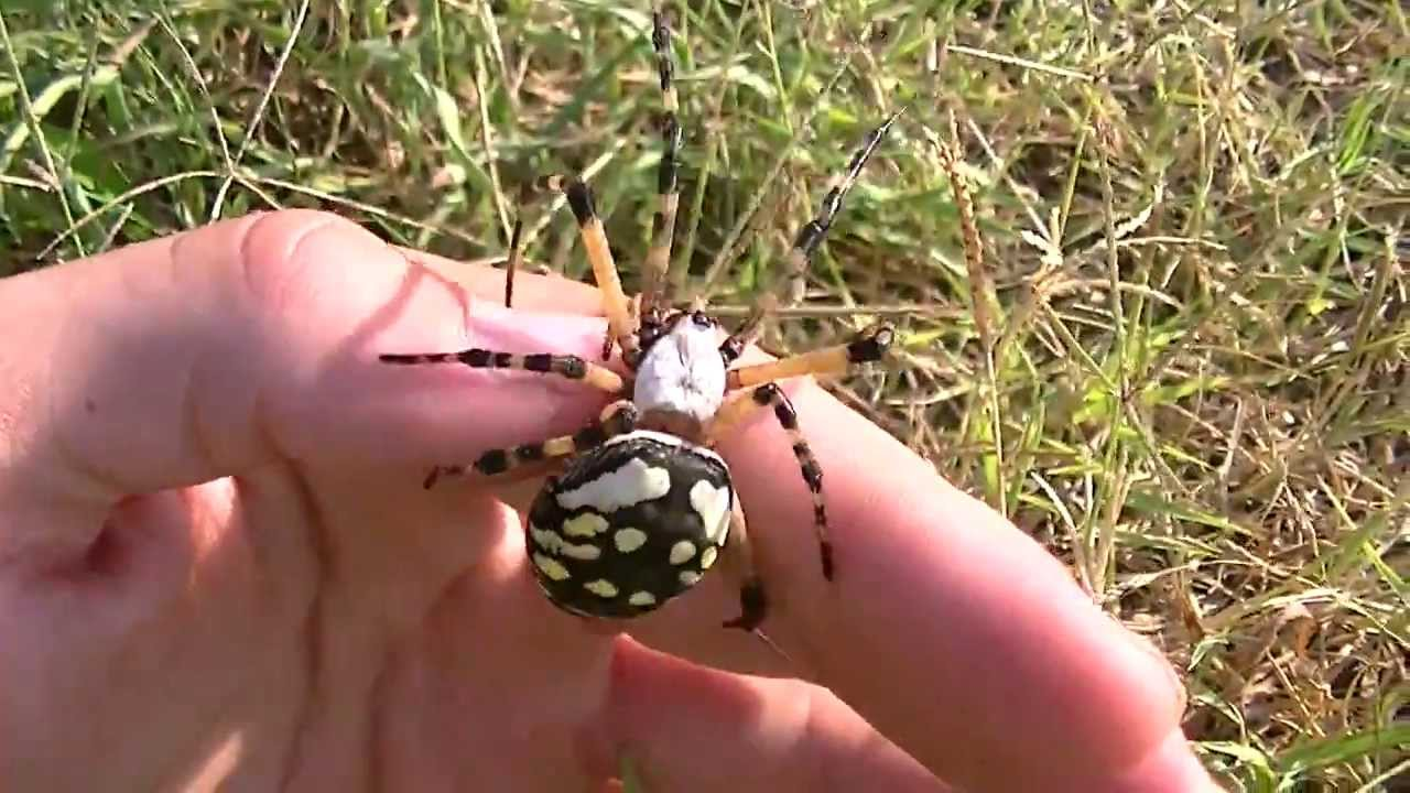 Handling Large Garden Spider Youtube