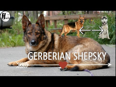 Gerberian Shepsky Dog Facts | Hindi | MIX DOG BREEDS | HINGLISH FACTS