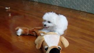 maltese cute puppy playing