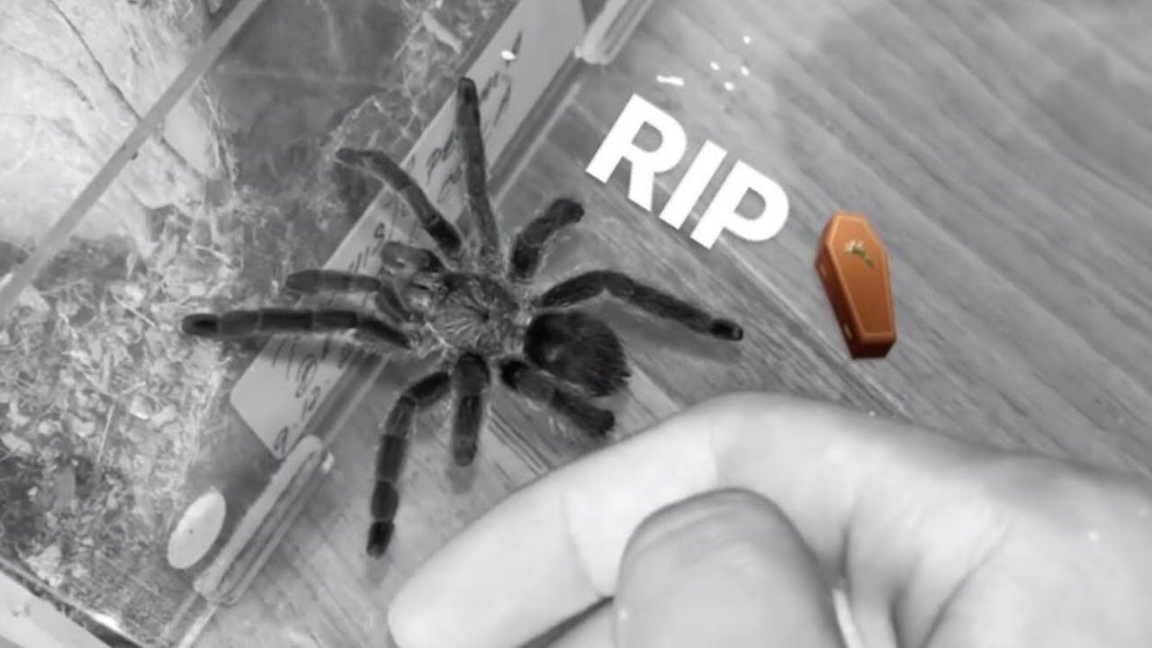 my-rarest-tarantula-is-no-longer-with-us-anymore