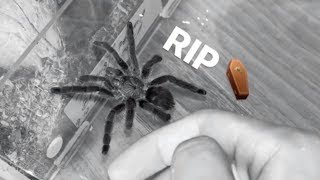 My RAREST TARANTULA is NO LONGER with us anymore  :(