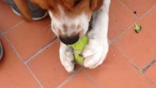 Beagle Tricolor -  Max En Salento Quindio Colombia