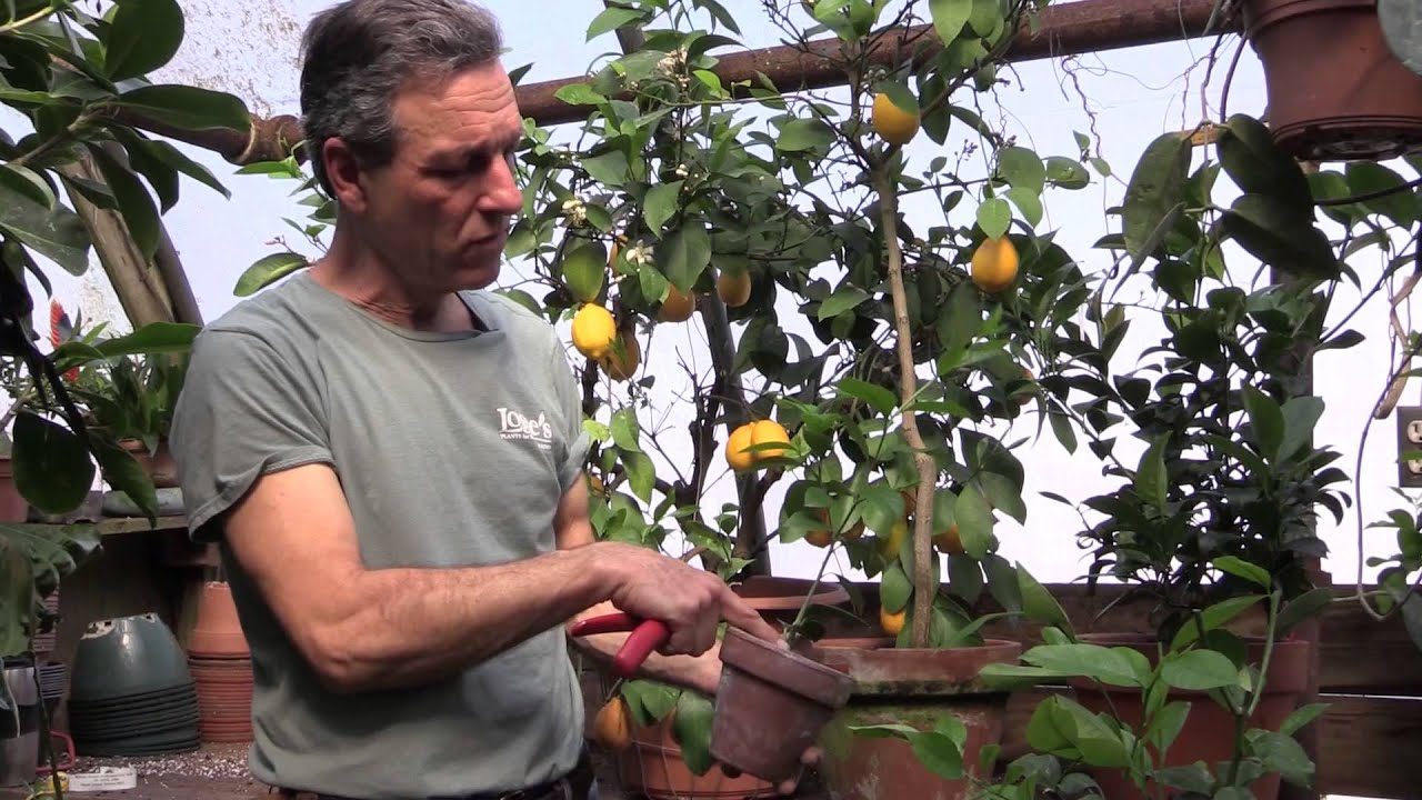 Pruning Meyer Lemons In Containers Youtube