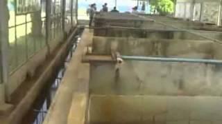 การเลี้ยงกบในบ่อปูน