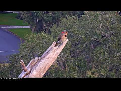Northern Flicker Visits Perching Branch in Savannah – Dec. 6, 2017