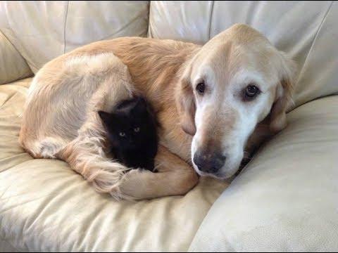 大親友だった猫を失い生きる気力も失ったゴールデンレトリバー犬。幼い黒猫との出会いが・・・【nekoの部屋】
