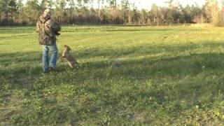 Labrador Retriever Training For Duck Hunting - Jan3 Ylwfml