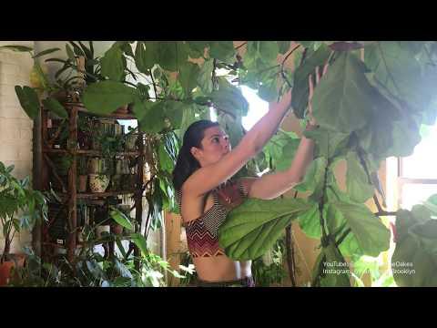 Ep 024: Fiddle Leaf Fig (Ficus lyrata) Care - Plant One On Me