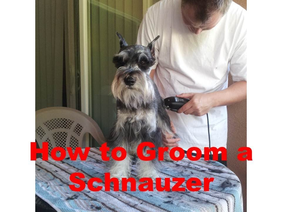 How To Groom A Miniature Schnauzer Youtube