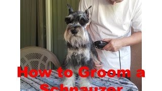 How to Groom a Miniature Schnauzer