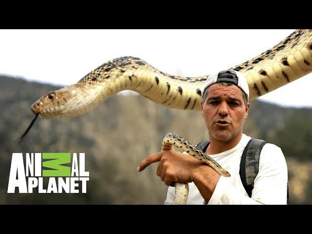 ¡Serpiente toro cambia de piel!   Wild Frank en California   Animal Planet