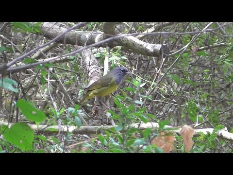MacGillivray's Warbler (song captured). Laguna Atascosa NWR