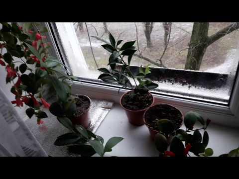 Комнатные растения/цветы. Мои тонкости ухода за эсхинантусом   размножение   эсхинантус   комнатные   цветущее   растения   красиво   цветы   уход