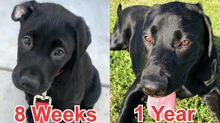 MY PUPPY GROWING UP - 8 Weeks To One Year