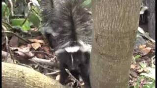 Watch Parry Gripp That Skunk Is Mad video