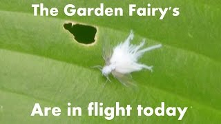 The white garden fairy's are out to play today.