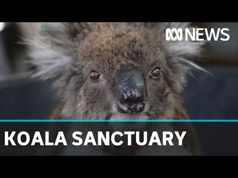 Chlamydia-free Kangaroo Island Koalas Find New Home In An Adelaide Hills Sanctuary | ABC News