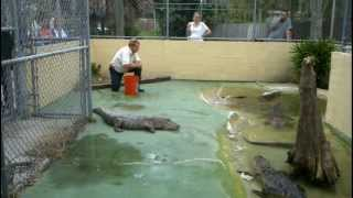 Gator Feeding At Black Hammock's Free Wildlife Exhibit