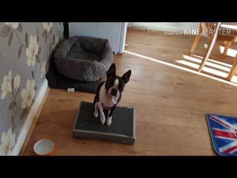 Boston terrier # Bossy doing place & mat tricks#