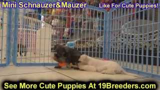 Miniature Schnauzer, Puppies, For, Sale, In, Weirton, West Virginia, Wv, Kanawha, Monongalia, Cabell
