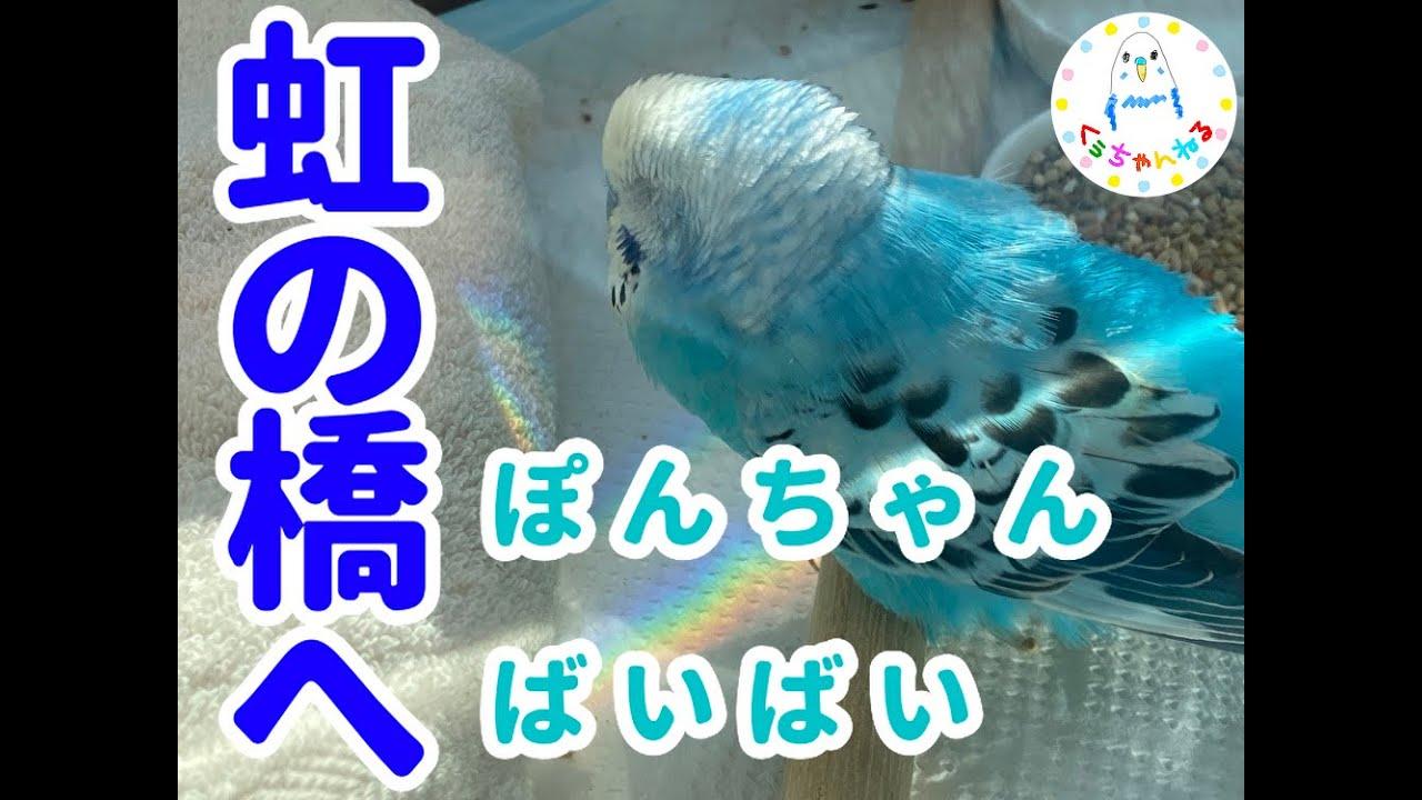 ぽんちゃんが虹の橋にいきました【セキセイインコ】【虹の橋】