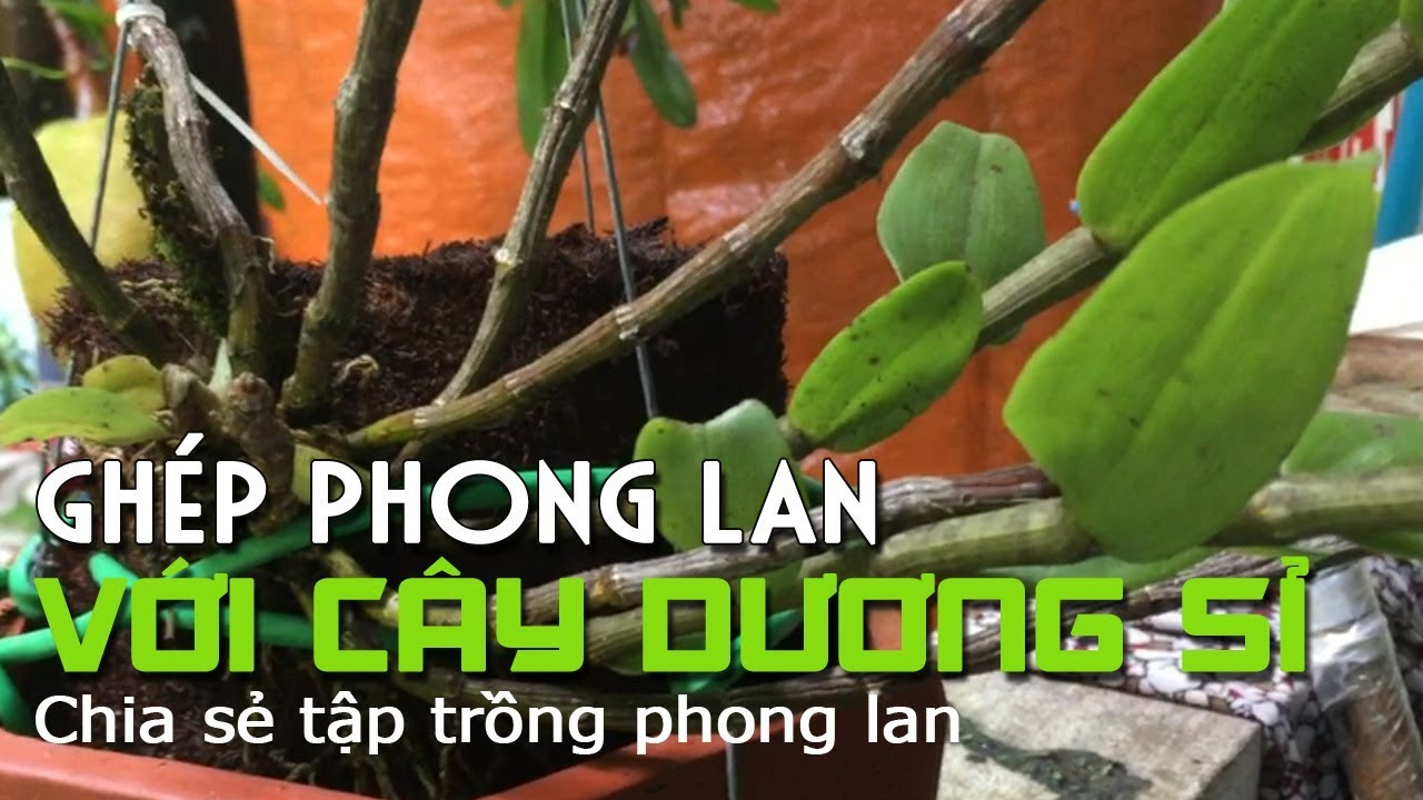Ghép Phong lan vào thân cây dương xỉ