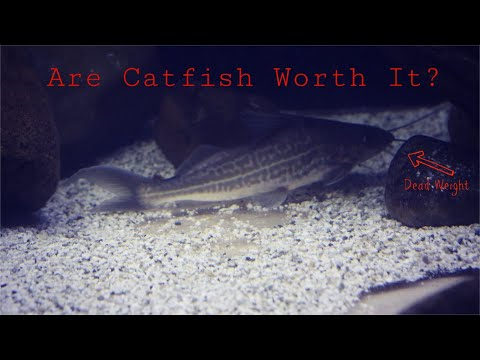 My Problem With Catfish And Plecos In My Aquarium