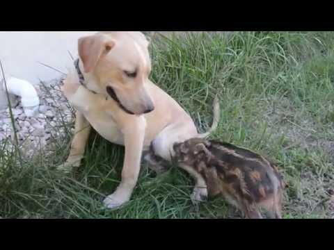 Kumbali And Kago Meet A Baby Red River Hog