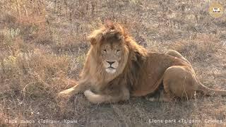 Ветер перемен продолжается. Олежка, Чук и Беляши. Львы. Тайган. Lions in Taigan park
