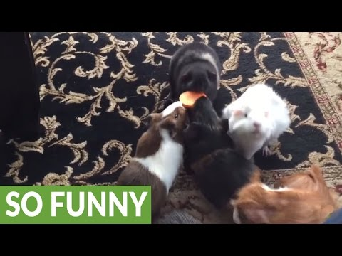 Do you know what a guinea pig feeding frenzy looks like?