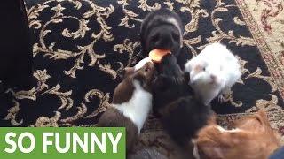 Do you know what a guinea pig feeding frenzy looks like?