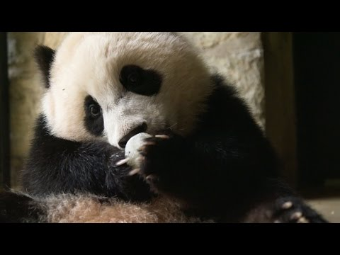 Why do we find giant pandas so cute? - Super Cute Animals: Preview - BBC One