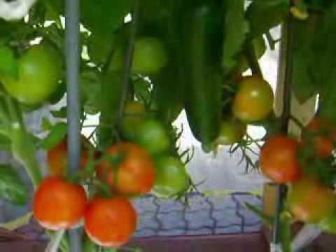 видео: Маленький парник-короб 3.5 м х 0.5м,ранние огурчики и томаты 3августа . Часть 3.